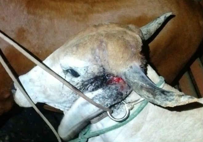 Animal castigado na farra do boi em Itapema (SC) é socorrido pela PM que detém farrista