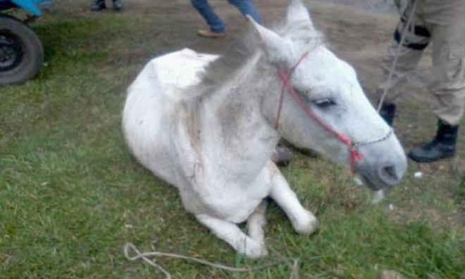 Maus-tratos: PM de Porto União (SC) encontra cavalo caído e com vários ferimentos