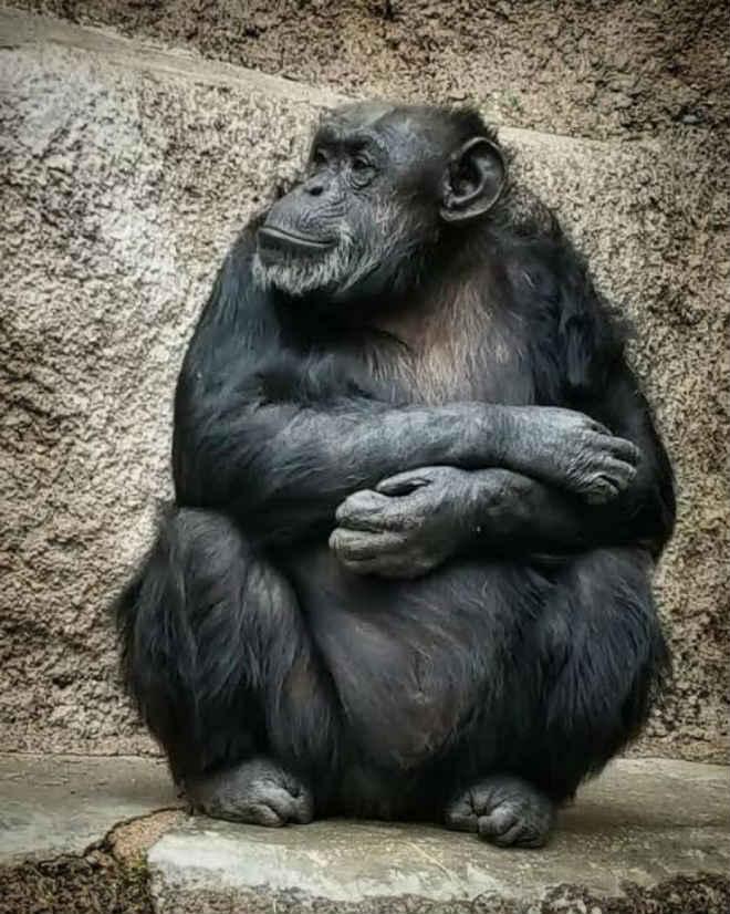 Chimpanzé libertada por habeas corpus é transferida de zoo argentino para Santuário de Grandes Primatas em SP