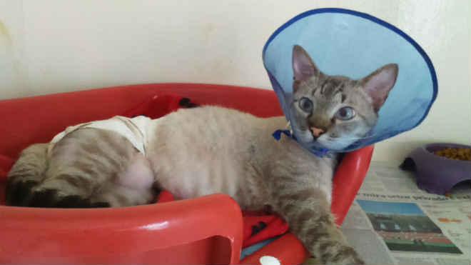 Pele artificial é destaque em cirurgia veterinária em gato em Sorocaba, SP