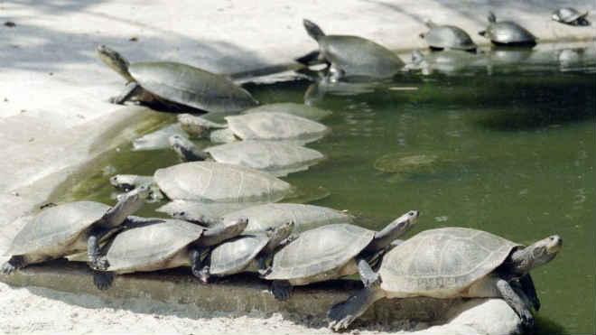 ONG intensificam campanha contra abate e consumo de tartarugas em São Tomé, na África