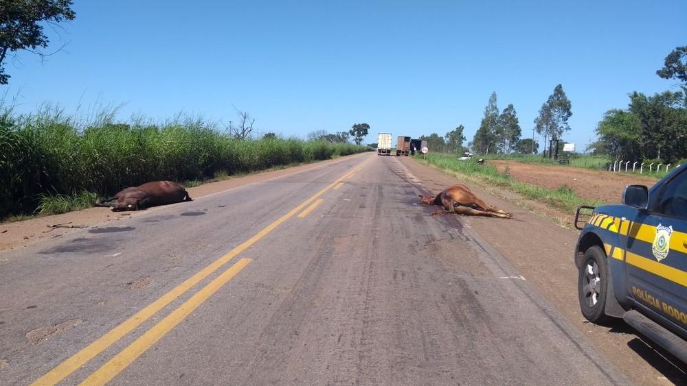 Cavalos explorados em vaquejadas morrem após atropelamento na BR-153, TO