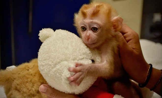 Macaco que viu família morrer encontra conforto em bichos de pelúcia