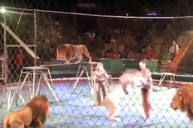 Leão explorado por circo ataca e quase mata treinador durante show