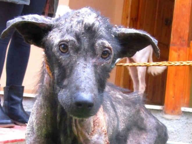 Mulher resgata cão em estado deplorável e consegue transformá-lo de forma irreconhecível