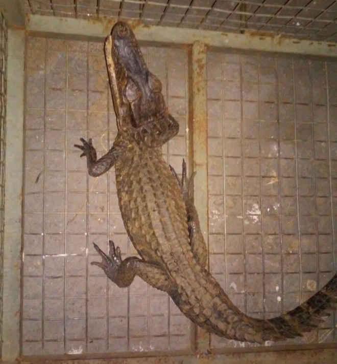 Jacaré-tinga é capturado após ser visto passeando por avenida em Miracema do Tocantins, TO