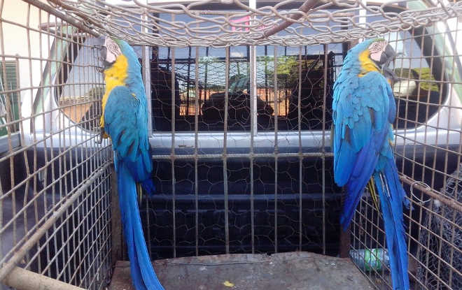 Animais silvestres são resgatados pela polícia ambiental em Palmas, TO