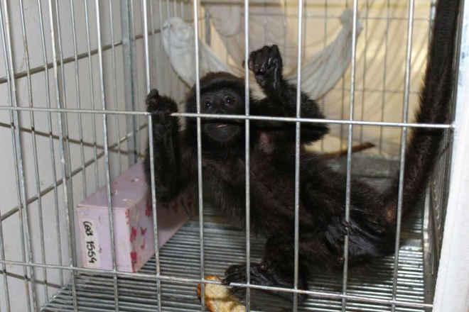 Filhote de macaco que comia bolacha e pirulito em cativeiro tem dificuldades para se adaptar