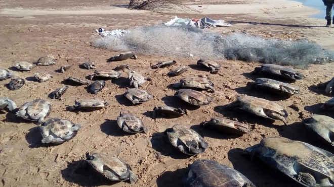 Homem é multado em R$ 195 mil por capturar 39 tartarugas