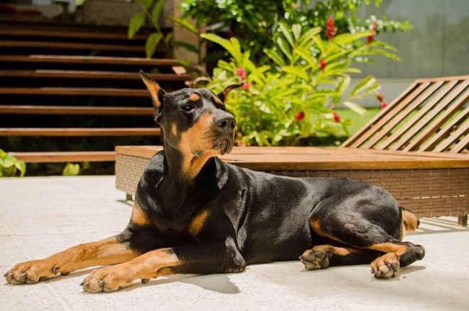 Cão de grande porte ganha na Justiça o direito de permanecer com seu tutor em condomínio na Bahia