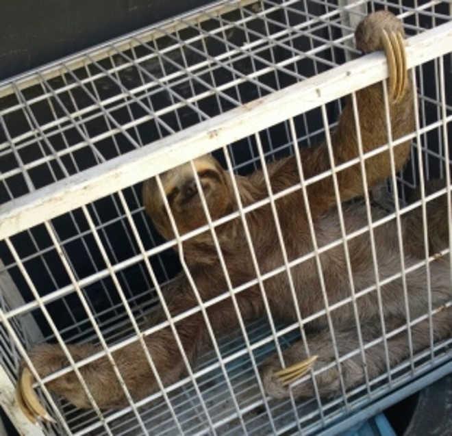 Bicho-preguiça é resgatado após 'passeio' nas ruas do Eusébio, CE