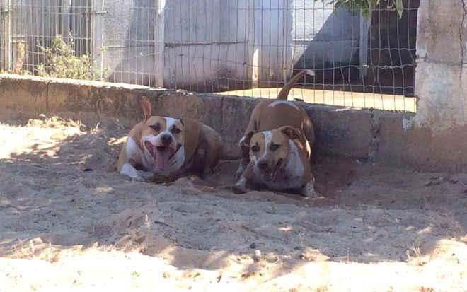 Recanto dos Pit Bulls precisa de doações e 'padrinhos' para cuidar de cães abandonados e vítimas de maus-tratos