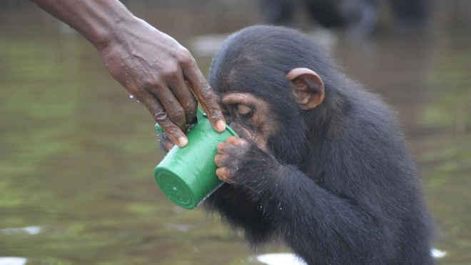 Chimpanzés de laboratórios abandonados para morrer em uma ilha finalmente conseguem ajuda