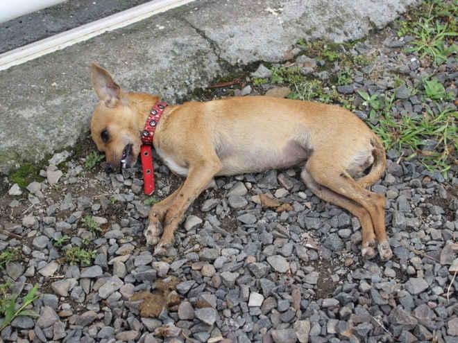 Moradores denunciam envenenamento de cachorros em Grajaú, MA