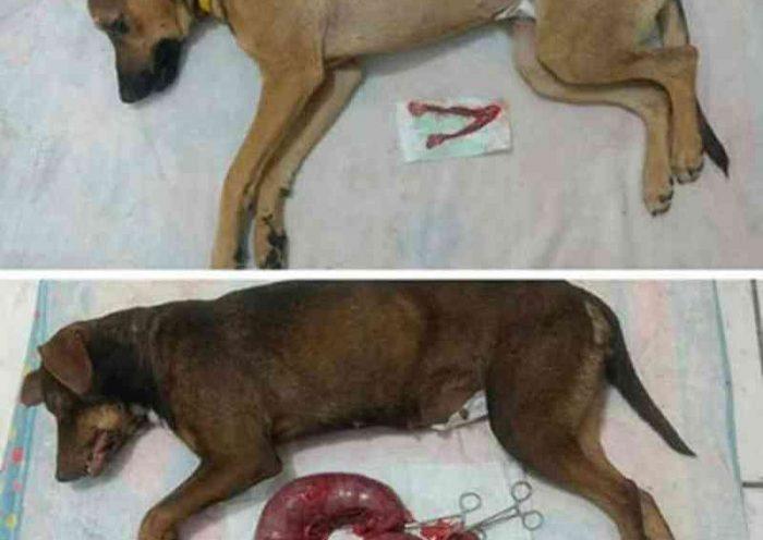 Conheça os perigos de utilizar anticoncepcionais em cadelas