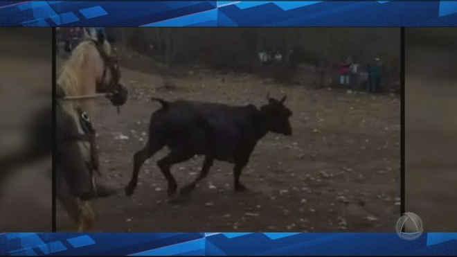 Vaquejada: Animais estavam sendo mutilados em fazenda de Gararu, SE