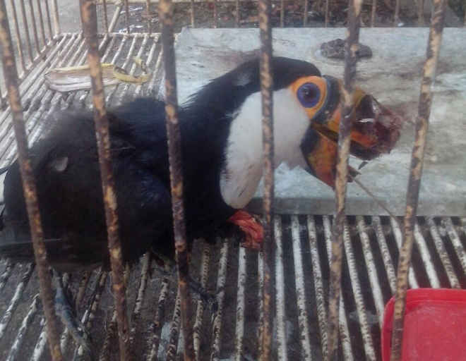 Tucano com bico arrancado e sinais de maus-tratos é resgatado pela polícia no TO