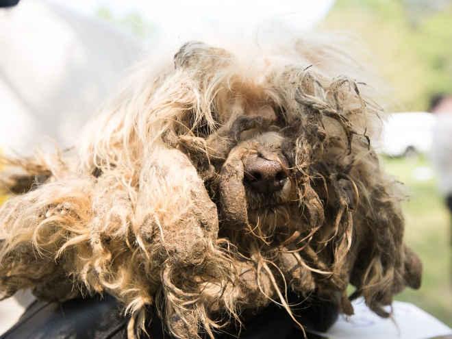 Resgates recentes demonstram a importância de continuar a luta contra a indústria de filhotes de cachorro
