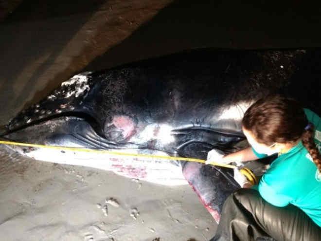 Filhote de baleia ainda com cordão umbilical é encontrado morto em Maceió, AL
