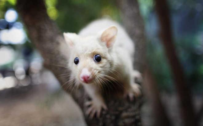 """Opossuns são exterminados como """"peste"""" na Nova Zelândia e as suas crias são afogadas"""