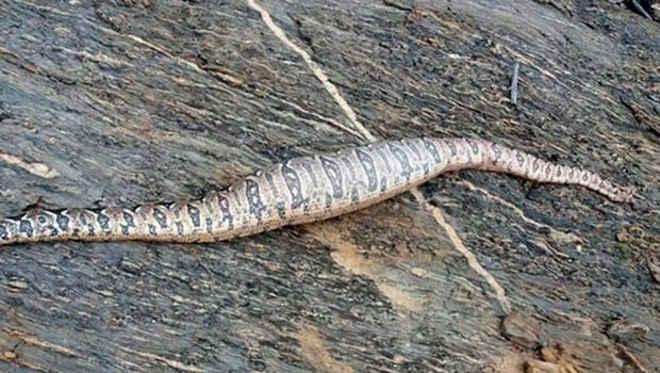 No RN, cobra medindo mais de 2 metros é solta na natureza, mas aparece morta horas depois