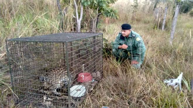 Jaguatirica que foi atropelada é solta após receber tratamento