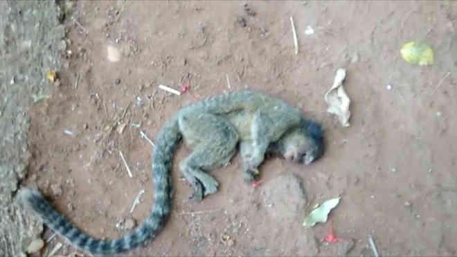 Macacos aparecem mortos em Porto Nacional, TO; suspeita é de envenenamento