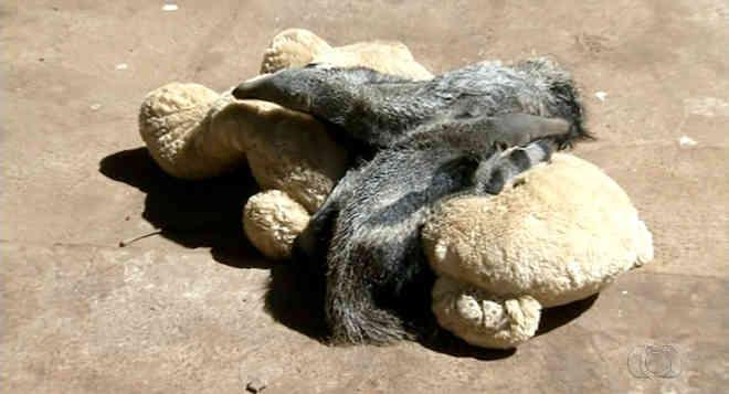 Bichos de pelúcia 'substituem' mães de tamanduás órfãos no Tocantins