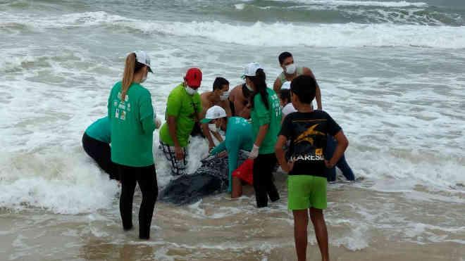 Filhote de baleia Jubarte encalha no litoral alagoano