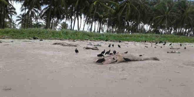 Segundo o Biota, maioria dos animais encalhados foi encontrada em avançado estado de decomposição, o que impossibilitou diagnóstico da causa (Foto: Divulgação)