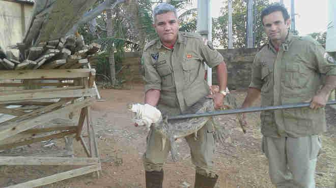 Bombeiros resgataram jacaré que atacou proprietário de fazenda na zona rural de Crateús, no interior do Ceará (Foto: Corpo de Bombeiros/Divulgação)