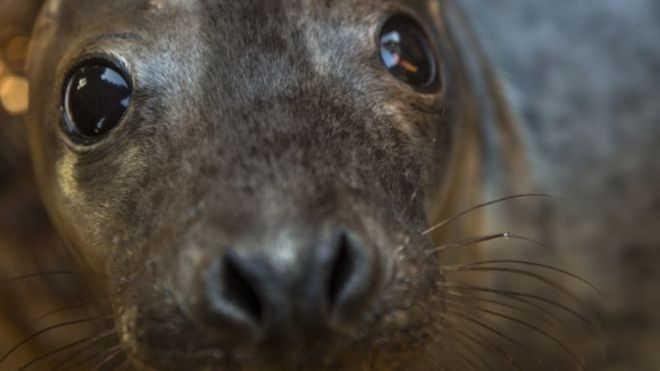 Leões marinhos estão aparecendo doentes OU mortos em praias californianas (Foto: Getty Images)