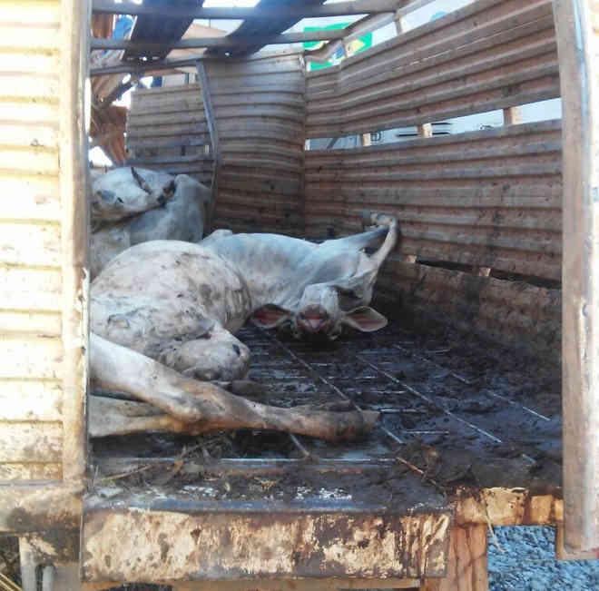Vários bois morreram na batida (Foto: Divulgação)