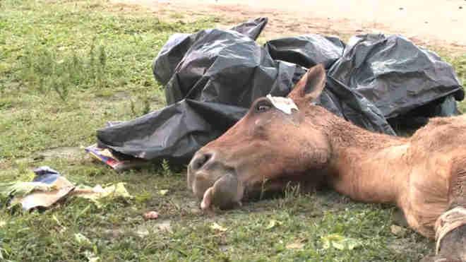 Centro de Zoonoses realiza trabalho para a retirada do cavalo abandonado no Osman Loureiro (Imagem: Reeprodução TV Gazeta)