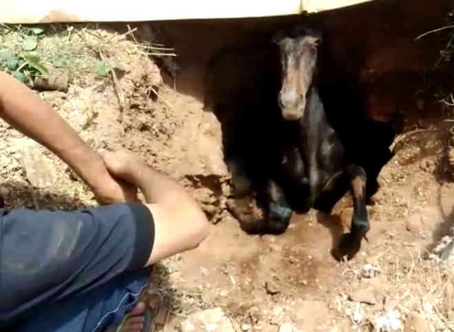 Cavalo foi encontrado preso em buraco no interior do RN (Foto: Raimundo Júnior)