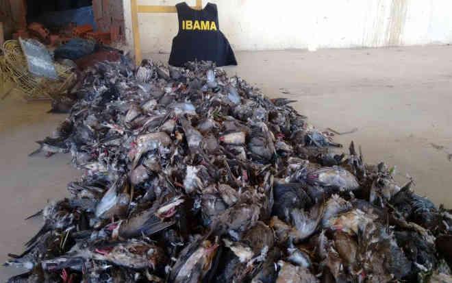 Aves apreendidas pelo Ibama (Foto: Divulgação/Ibama)