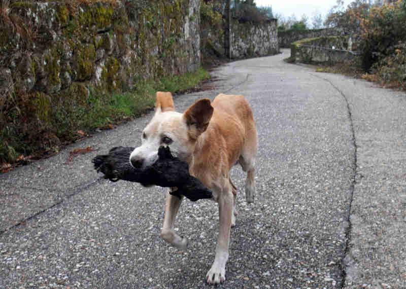 Jacki' carrega um pequeno animal no rescaldo do grande incêndio que assolou Fragoselo (Vigo) e Chandebrito (Nigrán). SALVADOR SAS (EFE)