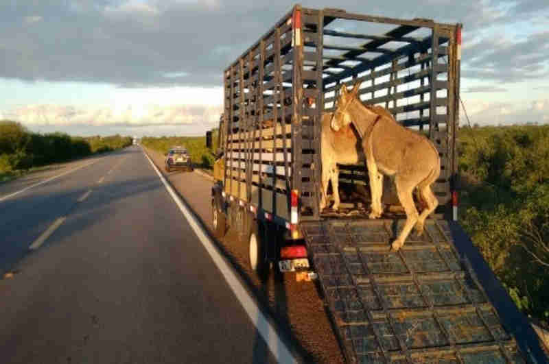 Segundo a PRF, animais soltos podem causar acidentes (Foto: SSP)