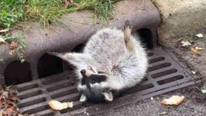 Animal ficou entalado em bueiro, no EUA (Foto: Polícia de Zion)