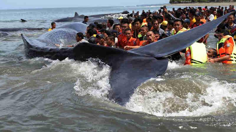 O mistério das baleias encalhadas à beira-mar