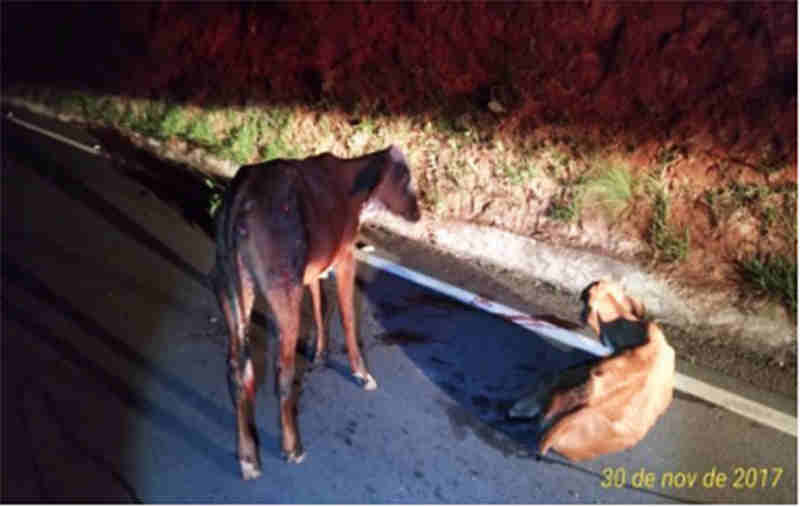 Condutor alcoolizado atropela animais na pista em Ritápolis, MG