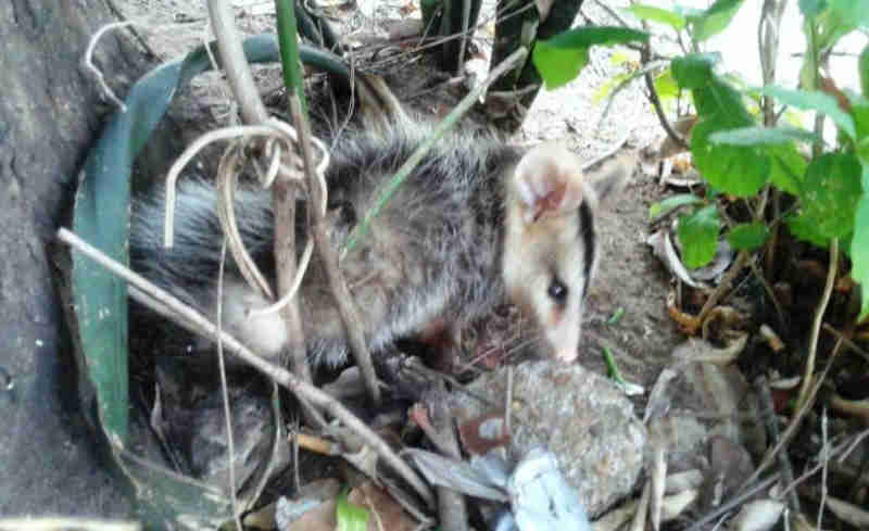 Animal estava ao lado de uma árvores, no bairro Vila Nova (Foto: Edis Carlos / TVC)