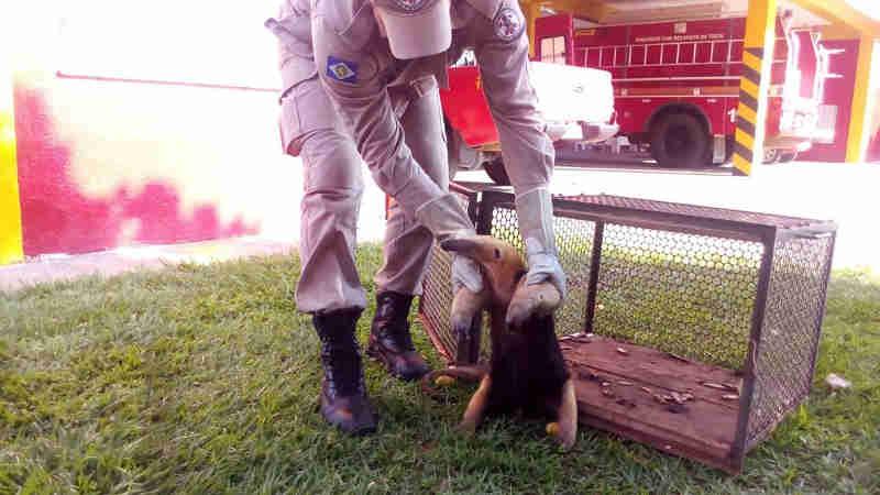 Tamanduá-mirim foi resgatado e levado para reserva em Alta Floresta (Foto: Nativa News)