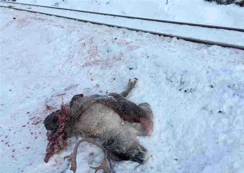 Em apenas três dias morreram mais de 100 animais (Foto: EPA/JOHN ERLING)