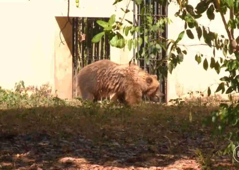 Ursa Marscha, atualmente no Parque Zoobotânico de Teresina (Foto: Reprodução / TV Clube)