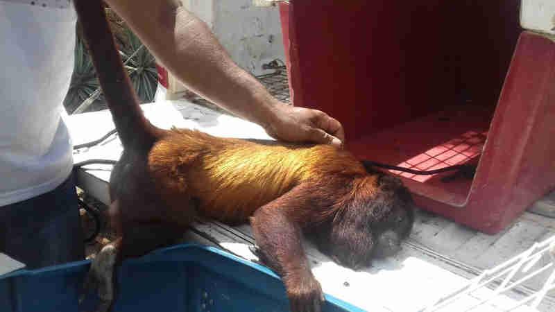 Macaco foi resgatado em rodovia federal (Foto: Arquivo pessoal)