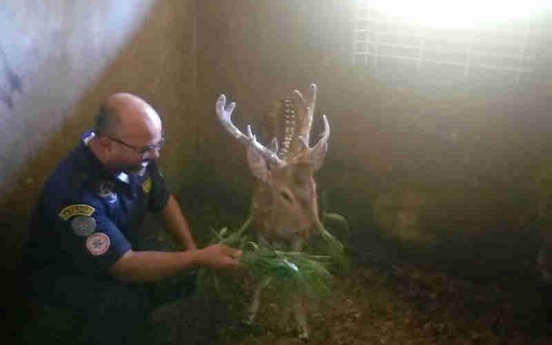 Cervo está no abrigo da EPTC, e nesta sexta-feira será levado para o Hospital Veterinário da UFRGS, onde receberá cuidados. Após se recuperar, irá para um criadouro em Santa Maria (Foto: EPTC/Divulgação)