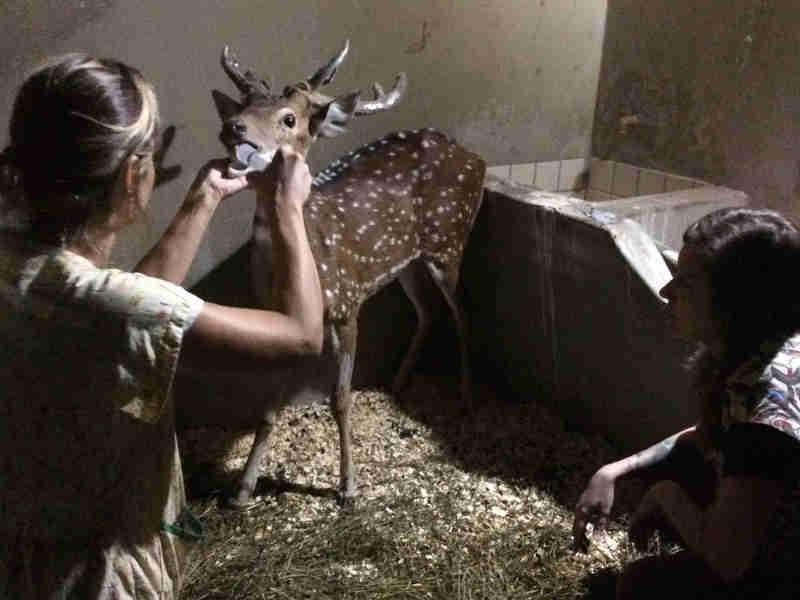Cervo está sendo cuidado pela equipe Núcleo de Conservação e Reabilitação de Animais Silvestres (Preservas) do Hospital Veterinário da UFRGS (Foto: Preservas, UFRGS/Divulgação)
