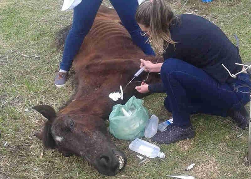 Cavalo é amarrado sobre arames e morre em Criciúma, SC