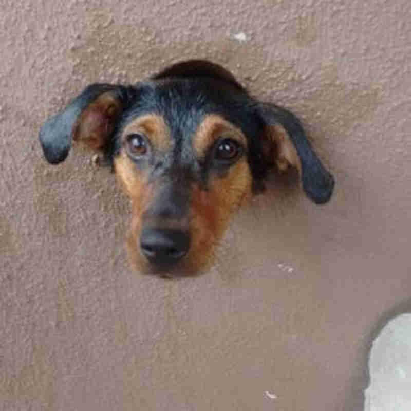 Cachorra ficou presa em buraco no muro (Fotos: Corpo de Bombeiros de Assis)